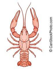 Decorative isolated crayfish on white background . Vector ...