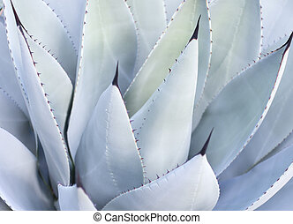 Decorative leaves on Aloe Vera plant. Mallorca, Balearic...