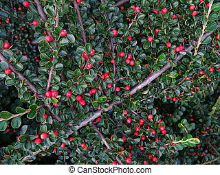 Decorative nature, green leaves round red berries