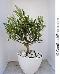 Decorative olive tree - Little decorative olive tree in...