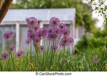 Decorative onion flowers Allium in the garden