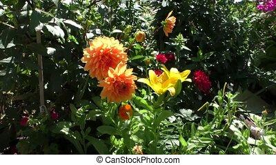 decorative orange dahlias grow in the garden