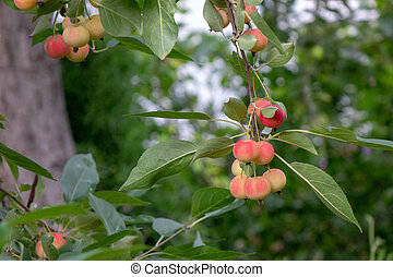 Decorative paradise apples on a green branch in the farm garden. Organic ripe product