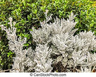 Decorative plant of white color. Close up shot