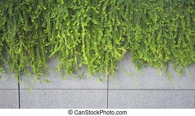 Decorative Plants Trailing over a Concrete Ledge in Urban...