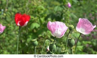 Decorative poppy flower blooms move in wind in summer garden. 4K