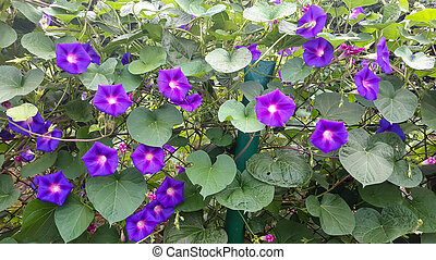 Decorative purple flowers of peas in the garden outdoors