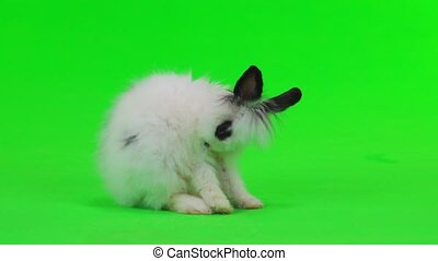 decorative rabbit takes care of his fur on green screen