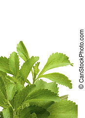 decorative stevia plan for bottom of a page, white background, vertical image.