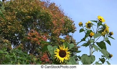 Decorative sunflower flower blooms and colorful maple tree...