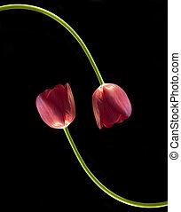 decoratively, espace, tulipes, deux, noir, conçu, fond, ...