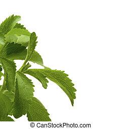 decorativo, pagina, quadrato, angolo, image., stevia, piano, fondo, bianco