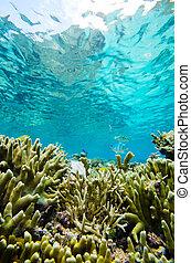 dedo, coral-porites?cylindrica