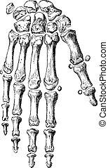 dedos, engraving., vendimia, mano, esqueleto