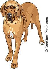 deen, groot, fawn, ras, vector, schets, huiselijke hond