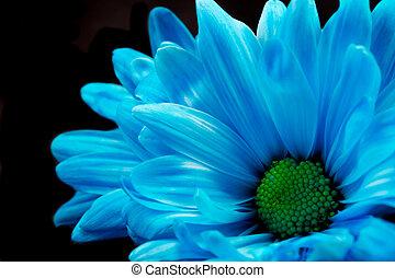 Deep Blue Gerber Daisy - A close up of blue gerber daisies.