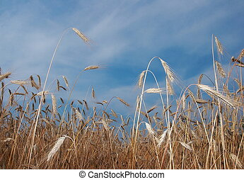 Deep blue sky over yellow wheat field