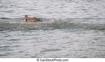 Deep Diving Pelicans in Puerto Rico. Shot in 4K on a cinema ...