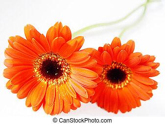 deep orange - gerbera blossoms