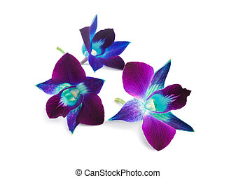 orchid - deep purple orchid isolated on a white background
