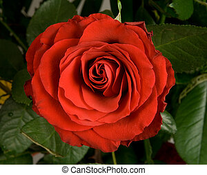 red rose - Deep red rose in bouquet