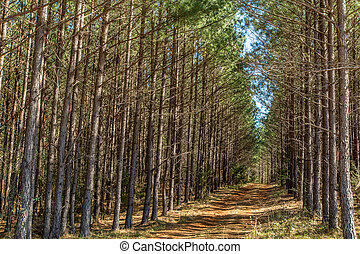 A pine tree woods in south Georgia.