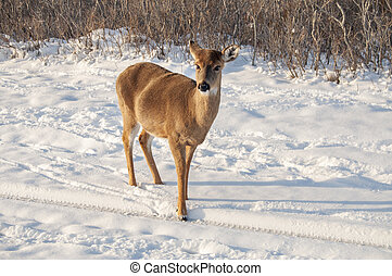 Deer 7696 - A white tail deer searching for food in the snow