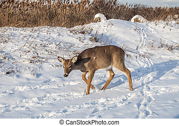 Deer 7709 - A young deer with growing antlers in the snow