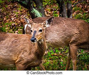 Deer along Skyline Drive, in Shenandoah National Park, Virginia.
