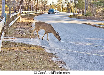 Deer And Car Collision - Deer in the road as oncoming...