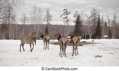 deer and leader in winter forest HD