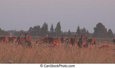 deer animals herd grown in fenced captivity field. 4K - deer...