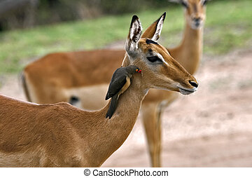 deer antelope and bird - Bird cleaning insects from an...