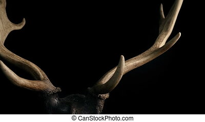 Slider shot moving slowly under a pair of deer antlers isolated on black background