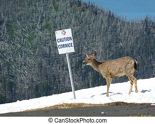 Deer at Olympic National Park
