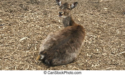 Deer chews on the ground - Deer lying on the ground and...
