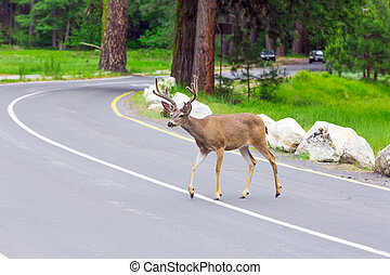 Deer crossing the street with upcoming car.