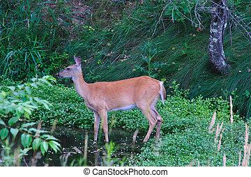 Doe Cooling Off - Deer - Doe Cooling Off in Pond in...