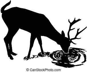Deer drinks water - A young male deer drink from a peaceful...