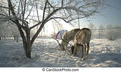 Deer eating grain in winter park slowmotion