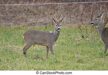 Deer eating grass in the forest edge