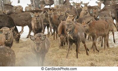 Deer farm - Deer at farm walking, looking for food and...
