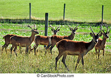 Deer at a farm range in the south island of New Zealand.