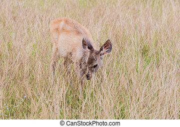 deer fawn standing in tall grass.