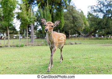 Deer fawn walking in a park