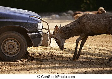 Deer fighting with a car, power combat - Deer fighting with...