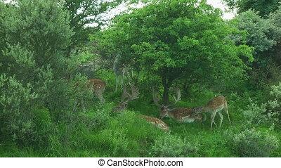 Deer - Fallow deer grazing