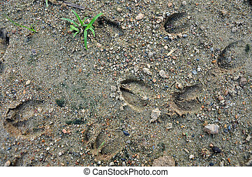 deer footprints - Footprints can be followed when tracking ...