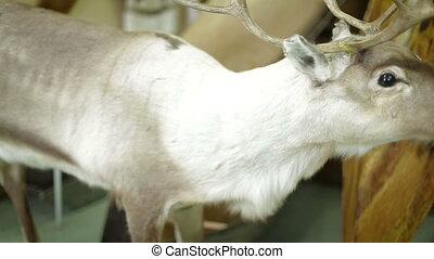 Deer foraging for food in the snowy woods. - deer foraging...