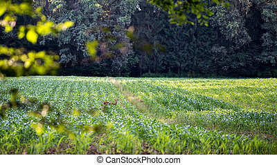 Scenic landscape with a deer foraging on the crop in an agricultural field against a forest background.